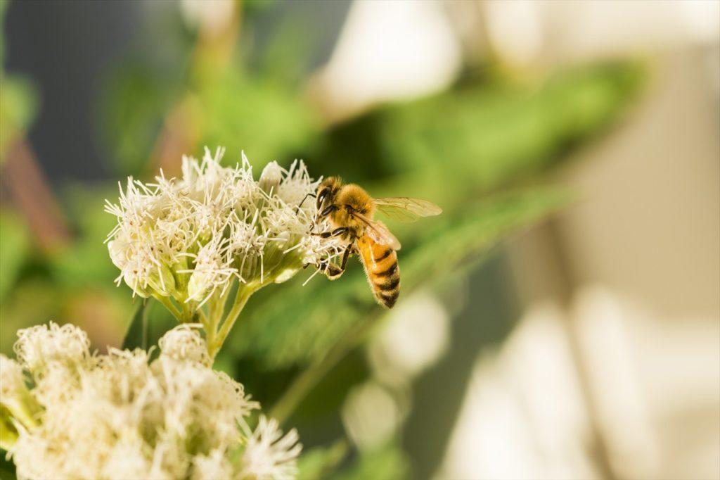 日本が百花蜂蜜が多い理由